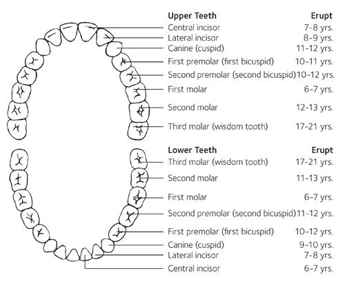 مراحل رشد دندان های دائمی
